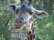 A Cool Giraffe