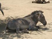 Zebra Resting
