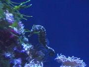 Majestic Seahorse