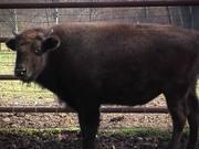 Buffalo Pepsi Max
