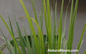 5 Amazing Health Benefits Of Lemongrass