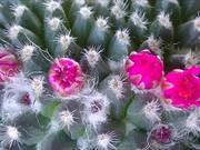 Flower Eating Cactus