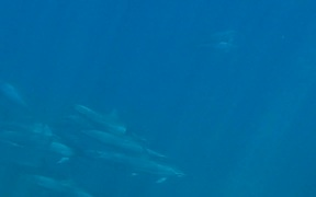 Swimming With Hawaiian Spinner Dolphins