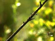 Mating Dragonflies in Flight