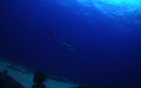 Thresher Sharks at Monad Shoal