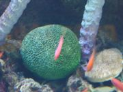Green Coral and Fishes
