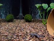 Three-Tap African Dwarf Frog Feeding