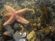 Common Starfish Moving in a Rockpool