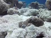 Common Caribbean Octopus