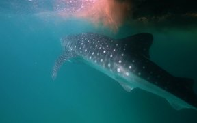 Whale Sharks Swimming Through Trichodesmium