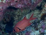 Blotcheye Soldierfish Swim Around the Reef