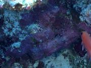 Blotcheye Soldierfish Swim Around the Reef