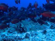 Large Shoal of Goggle Eye Fish..