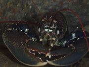 Common Lobster Sits in a Crevice