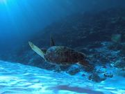 Green Sea Turtle Swims Over a Sandy Reef
