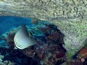 Eastern Triangle Butterflyfish Pecking