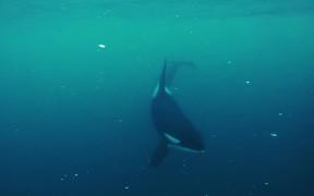 Killer Whales in Tromso