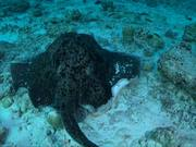 360 Degree Look at a Round Ribbontail Ray
