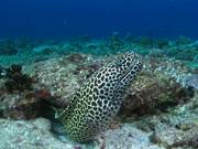 Honeycomb Moray on a Reef