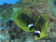 Raccoon Butterflyfish Courting Pair
