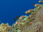 Shoal of Maldive Anemonefish Get Caught