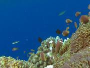 Shoal of Maldive Anemonefish Get Caught
