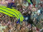 Nudibranch Predation