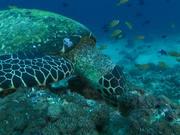 Hawksbill Turtle Feeding on the Reef