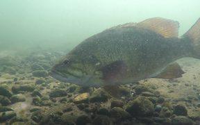 Big Bass Underwater