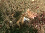 Octopus Walks in the Little Corryvreckan