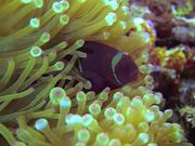 Anemone City in Alor