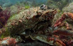 Spider Crab Spectacle