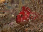 Red Long-Spined Sea Scorpion