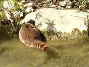 Raccoon Dabbling for Underwater Food