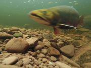 Brook Trout Spawning Behaviours