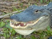 Everglades National Park: Alligator Tales