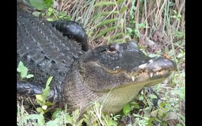 Everglades National Park: Alligator Tales