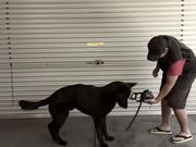 Chief's Introduction to Dog Muzzle