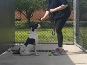 Holstein In Training