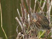 Everglades National Park: Green Heron