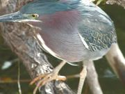 Everglades National Park: Green Heron