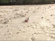 Everglades National Park: Sand Fiddler Crabs