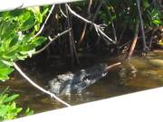 Everglades National Park: Croc Eating Eel