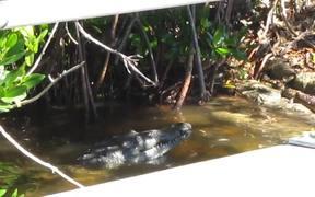 Everglades National Park: Croc Eating Eel