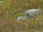 Everglades National Park: Great Blue Heron
