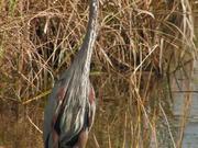 Everglades National Park: Great Blue Heron