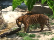 A Tiger and a Log