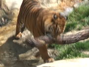 A Tiger and a Branch of Wood