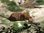Tiger Picking Up Wood