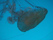 Jelly Fish Under the Deep